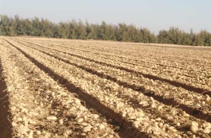 الزراعة :573 الف فدان بطاطس خالية من العفن البنى