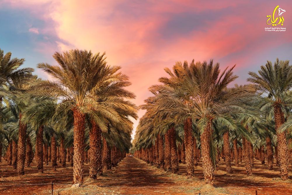 المشروع القومي لزراعة أشجار نخيل البلح فى مصر