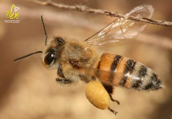 صوره تحتوى على النحل العملاق