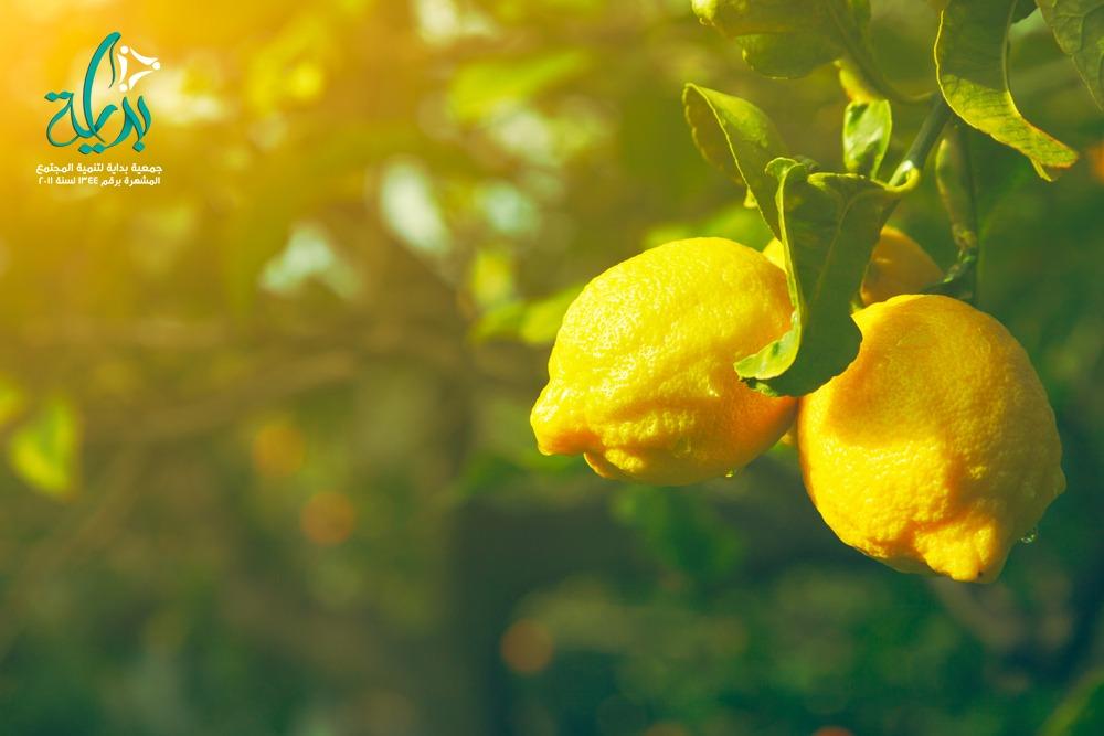 زراعة اشجار الليمون