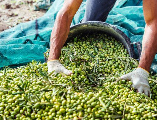 بدايه –قريبا مصر ستصبح الدولة الأولي في زراعة الزيتون وتصدير زيت الزيتون، والزيتون المجفف